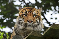 A Sumatran Tiger Royalty Free Stock Photo