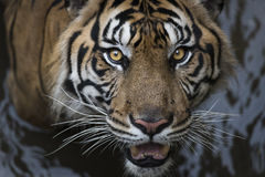 Sumatran Tiger with Water Stock Image