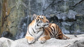 Sumatran Tiger stock video