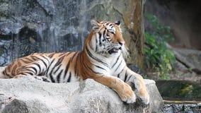 Sumatran Tiger stock video footage