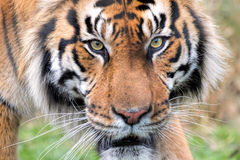 Sumatran-Tigerabschluß oben Auge des Tigers Stockfotos