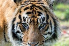 Sumatran-Tigerabschluß oben Auge des Tigers Lizenzfreies Stockbild