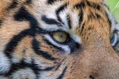 Sumatran-Tigerabschluß oben Auge des Tigers Stockbilder