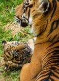 Sumatran tigergröngöling royaltyfri foto