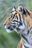 Sumatran tigerhuvud i profilen som ser lämnad Royaltyfria Foton