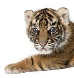 Sumatran-Tigerjunges, der Pantheratigris-sumatrae, 3 Wochen alt, in Franc Lizenzfreie Stockfotografie