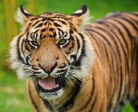 Sumatran tigerPanthera Tigris Sumatrae royaltyfri foto