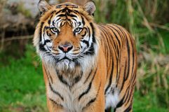 Sumatran Tigerportrait Stockbilder