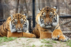 Sumatran Tigers. In Zoo exhibit Royalty Free Stock Photo