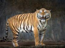 Sumatran tigers are roaring. stock image