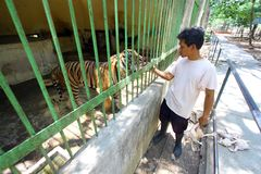 Sumatran tigrar Arkivfoto