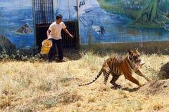 Sumatran tigrar Arkivfoton