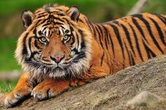 sumatran tygrys Fotografia Stock