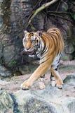 sumatran tygrys Zdjęcie Stock