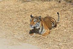 Sumatran Tygrys Obrazy Stock