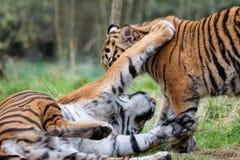 Sumatran Tygrysi Cubs Bawić się Wpólnie zdjęcia royalty free