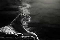 Sumatran tygrysi obsiadanie na skale obrazy royalty free