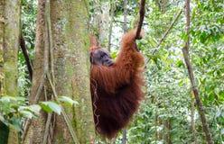 Sumatran wild orangutan in Northern Sumatra, Indonesia Stock Image