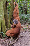 Sumatran wild orangutan in Northern Sumatra, Indonesia Stock Photos