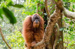 Sumatran wild orangutan in Northern Sumatra, Indonesia Royalty Free Stock Photos