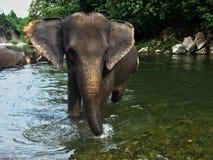 Sumatranolifant terwijl het lopen in de rivier Royalty-vrije Stock Foto