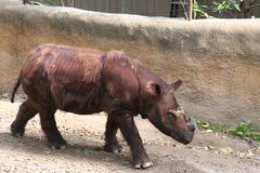 Sumatranrinoceros (Dicerorhinus-sumatrensis) Stock Foto's