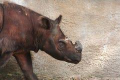 Sumatranrinoceros (Dicerorhinus-sumatrensis) Stock Afbeeldingen