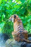 Sumatransky tiger Royalty Free Stock Photo