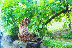 Sumatransky tiger Stock Image
