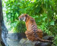 Sumatransky tiger Stock Photos