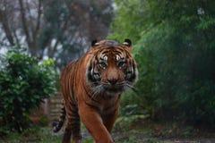 sumatrantiger Royaltyfri Fotografi