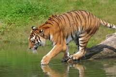 sumatrantiger Royaltyfri Foto