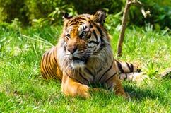 Sumatrantijger die op gras rusten Royalty-vrije Stock Afbeeldingen