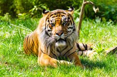 Sumatrantijger die op gras rusten Stock Foto