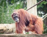 Sumatrian orangutan Stock Photo