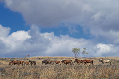 Sumba hästar, Indonesien Arkivfoto