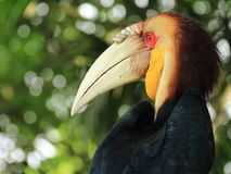 Sumba Hornbill Bird. A profile of hornbill bird with large beak and black feathers Royalty Free Stock Photo