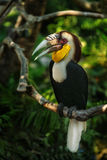 Sumba hornbill. On the brunch of tree Royalty Free Stock Image