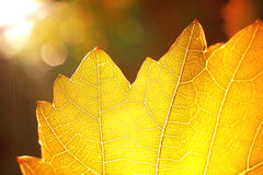 Sumbeams and a yellow leaf Royalty Free Stock Image