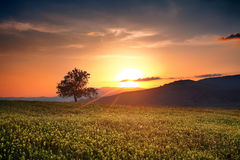 Sumer hdr landscape. Bulgarian sumer HDR sunset with single calm tree over the yellow field Royalty Free Stock Images