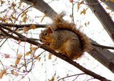 Sumiasta Ogoniasta wiewiórka w drzewie podczas zimy Obrazy Royalty Free