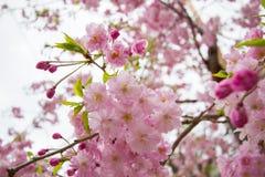 Beautiful pink cherry blossoms at Sumida park,Taito-ku,Tokyo,Japan in spring. Sumida park is located along the Sumida River,Asakusa,Hanakawado,Taito-ku,Tokyo Stock Image
