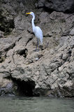 Sumidero Canyon Great Egret, Mexico Royalty Free Stock Photography