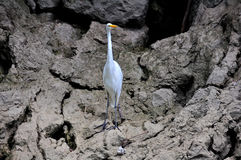 Sumidero Canyon Great Egret, Mexico Stock Images