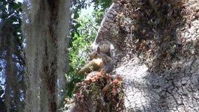 Summen Sie heraus vom Eichhörnchen laut, das Kegel im Baum isst stock video