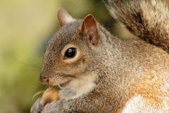 Summen Sie herein auf dem Eichhörnchenspeisen laut Lizenzfreies Stockbild
