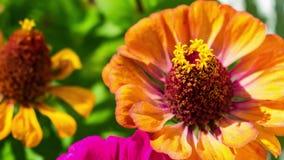 Summen Sie herein auf eine orange Blume laut stock footage
