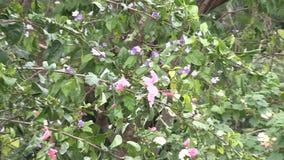 Summen Sie herein zu einer Hibiscusblume laut stock footage