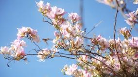 Summenvögel, die weg von Japaner-Cherry Blossom-Bäumen einziehen stock video