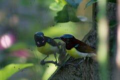 Summenvogel, der sich/betrachten, Summenvogel, der verwirrt schaut Stockfotografie